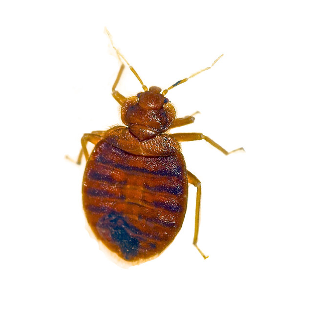 Bed Bug Control Nottingham Bed Bug Removal Confirm A Kill
