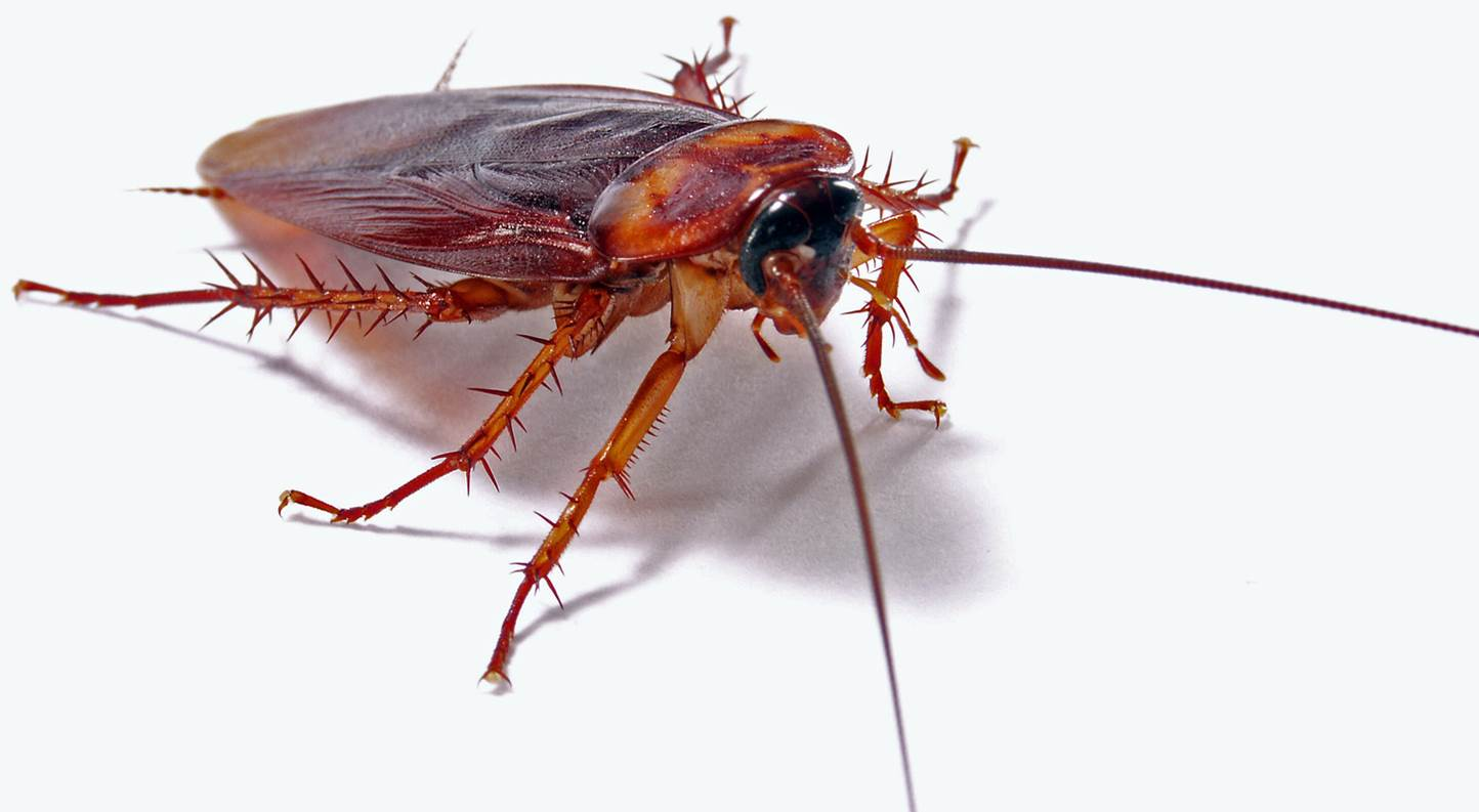 Cockroach Control Nottingham | Confirm A Kill