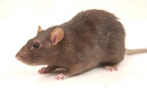 Rat Exterminator Nottingham