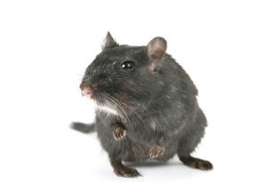 Rat Removal Nottingham