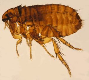 flea boom