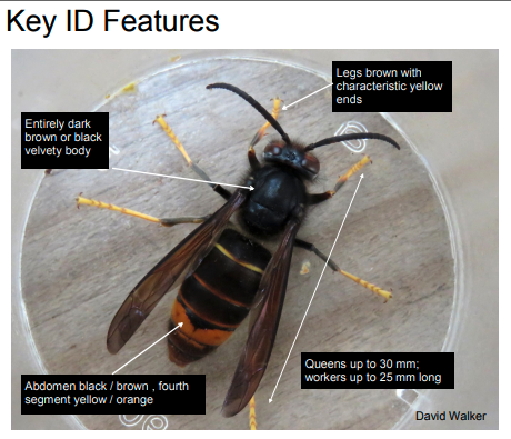 Asian Hornets - Key ID features