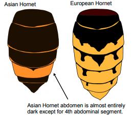 Asian Hornet abdomen