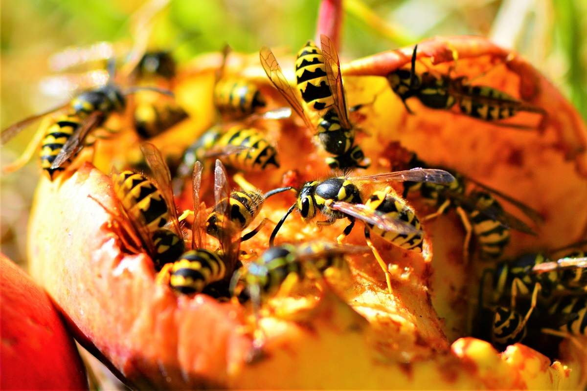 Wasps in Late Summer