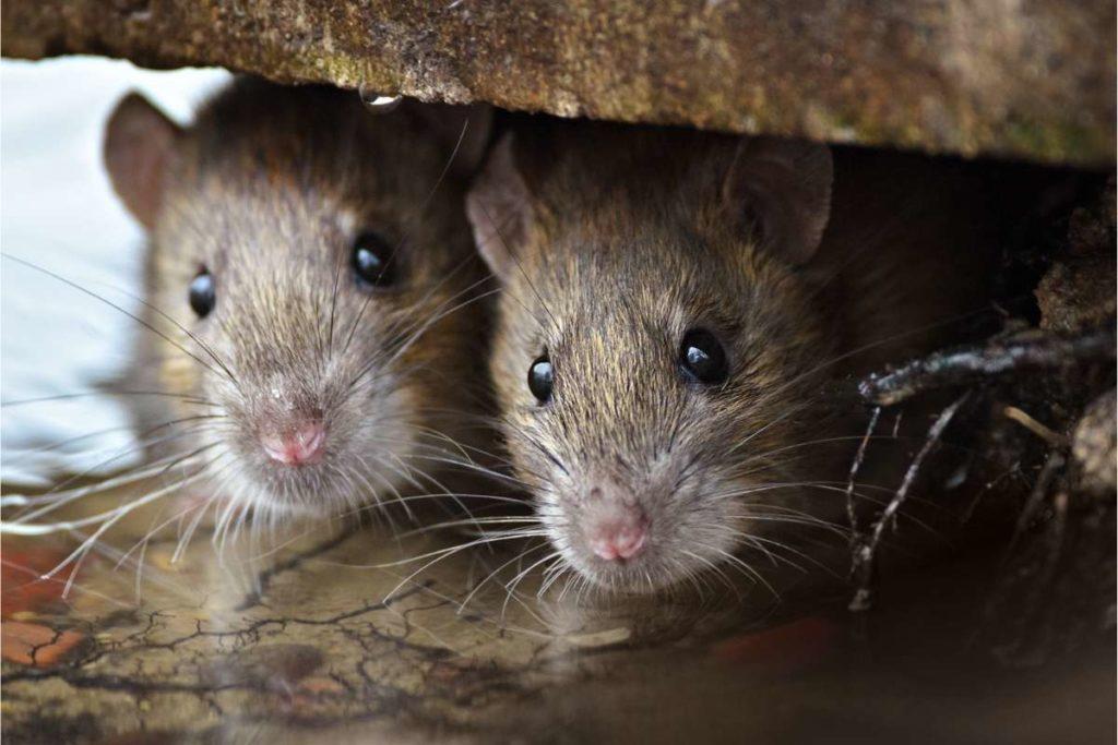 where do rats like to hide