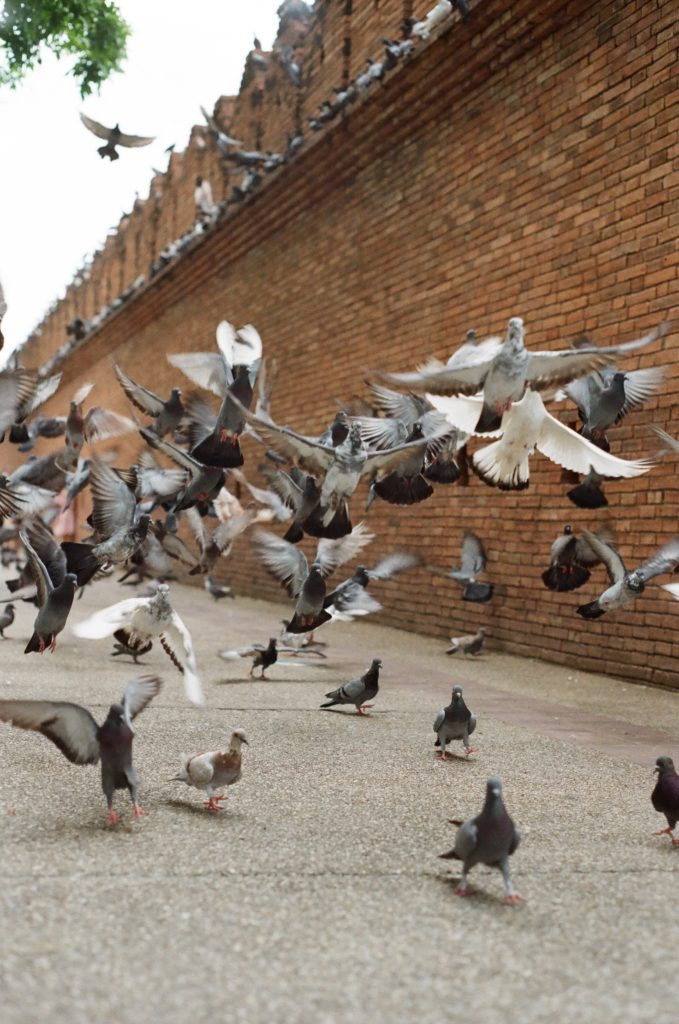 Are Pigeons Vermin